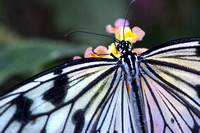 Translucent Wings (#7409)