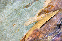 Eucalyptus Bark and Leaf #041