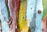 Eucalyptus Colors and Shapes #2166