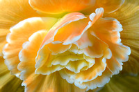 Painterly Golden Begonia