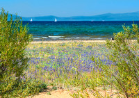 Kiwa Beach and Lupines, Lake Tahoe #5064.3