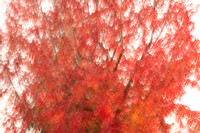 Painterly Red Maple #2433