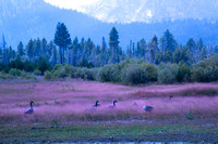 Canadian Geese and Pink Grass #7318