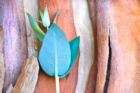 New Eucalyptus Growth #088