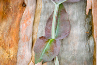 Eucalyptus New Leaves # 262